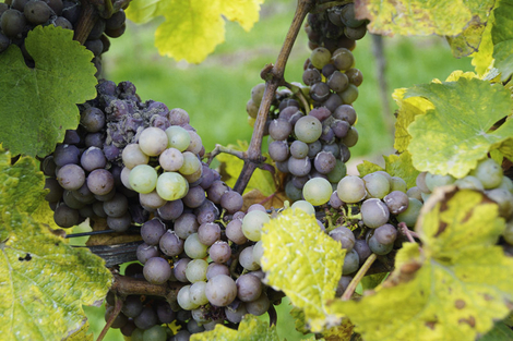 Botrytis bei Riesling