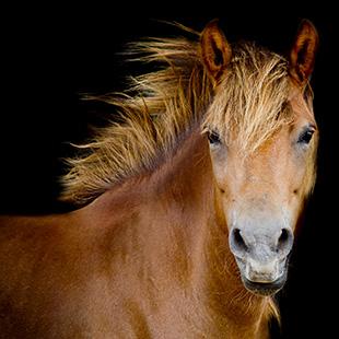 HIPPO Pferd
